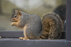 15-Squirrel-0121-RB-08