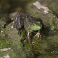 15-Frog-by-Barsema-0724-SW-1